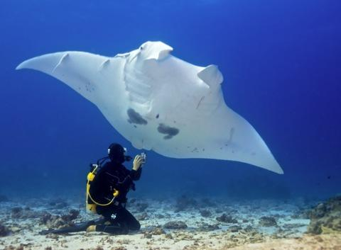 Take photos, record the location and date, but don't touch the Mantas as it disrupts their protective coating