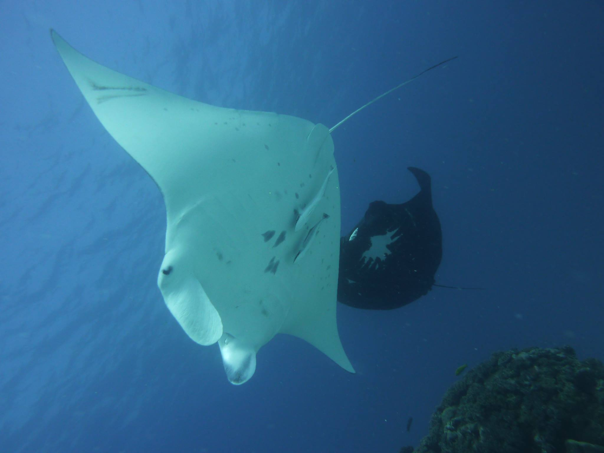 Taurus can be seen in the background of this picture. A great underbelly ID shot of the Mantas.