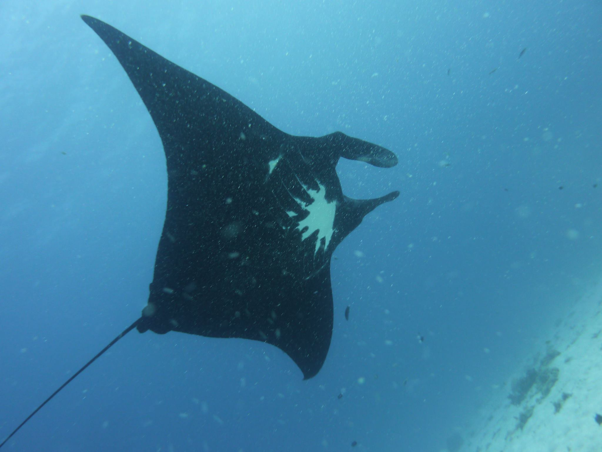 Taurus has some quite distinctive underbelly markings. Pictures like this can be used to ID Manta Rays.