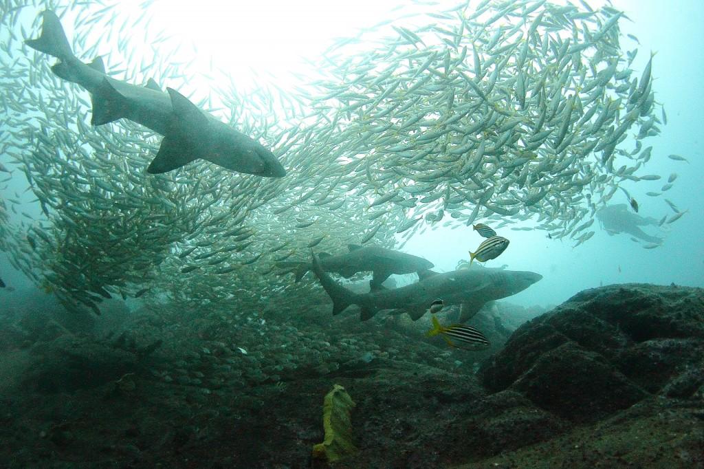 Plenty of Grey Nurse Sharks around South West Rocks!