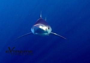 Extreme Freedom Shark