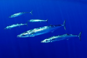 Underwater, Wahoo appear as long silver torpedoes, often moving slowly and effortlessly.