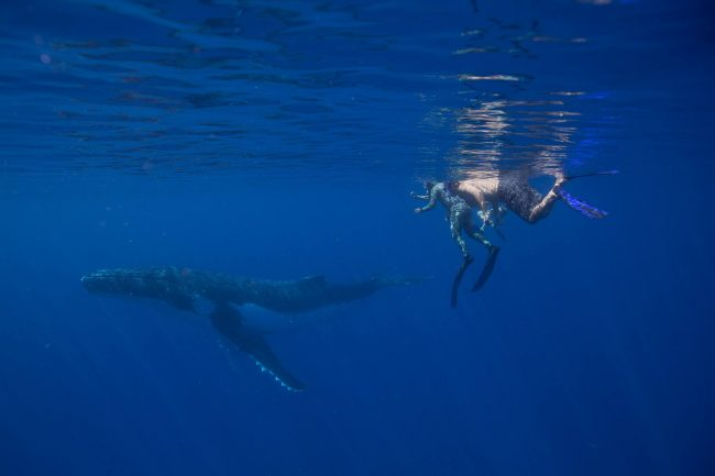 Image Whale Diving in Tonga by Jessie Cripps