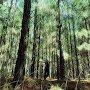 Joe Man Murphy - The Old Pine Tree