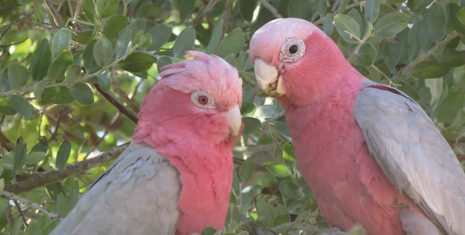 16 Goldfields God talk IMAGE Galahs in tree hero