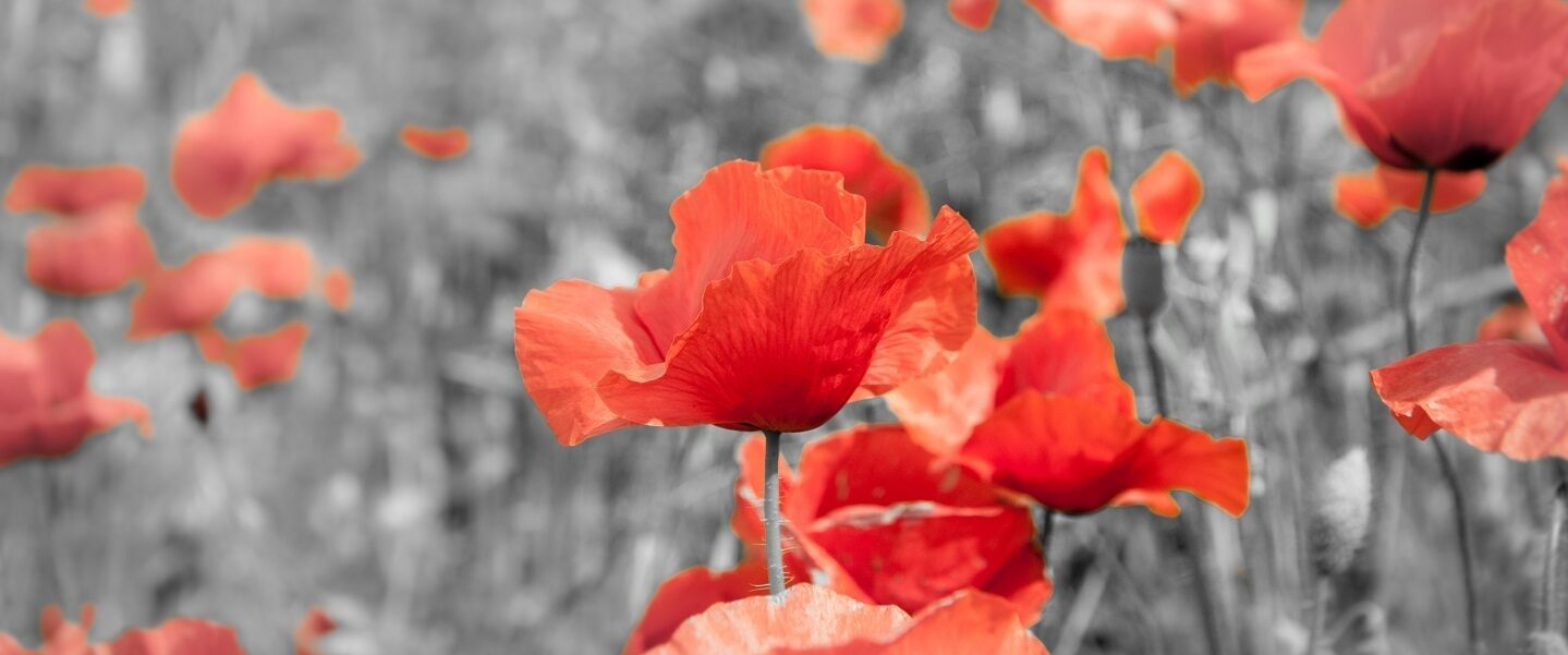 Poppies Remembrance Day flowers hero