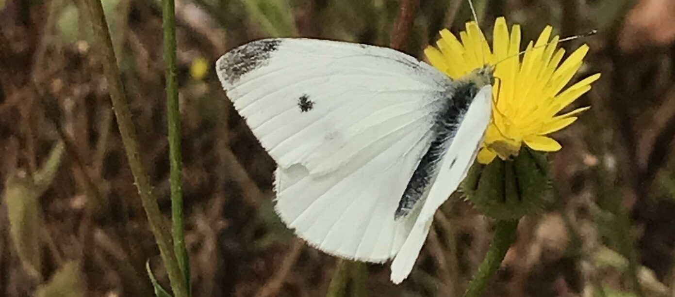 World Environment Day white butterfly on yellow flower by Abigail Hawke banner