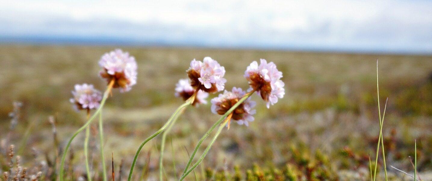 Pink flowers weeds in field blue sky banner