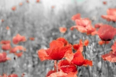 Poppies Remembrance Day flowers thumbnail