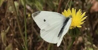 World Environment Day white butterfly on yellow flower by Abigail Hawke thumbnail