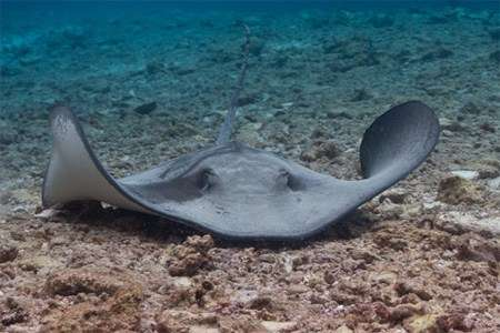 Sting ray on reef