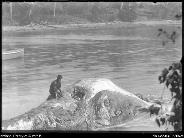A cure for rheumatism; Bob Wiles in the carcass of a whale, Twofold Bay c 1900. National Library of Australia image vn3103306