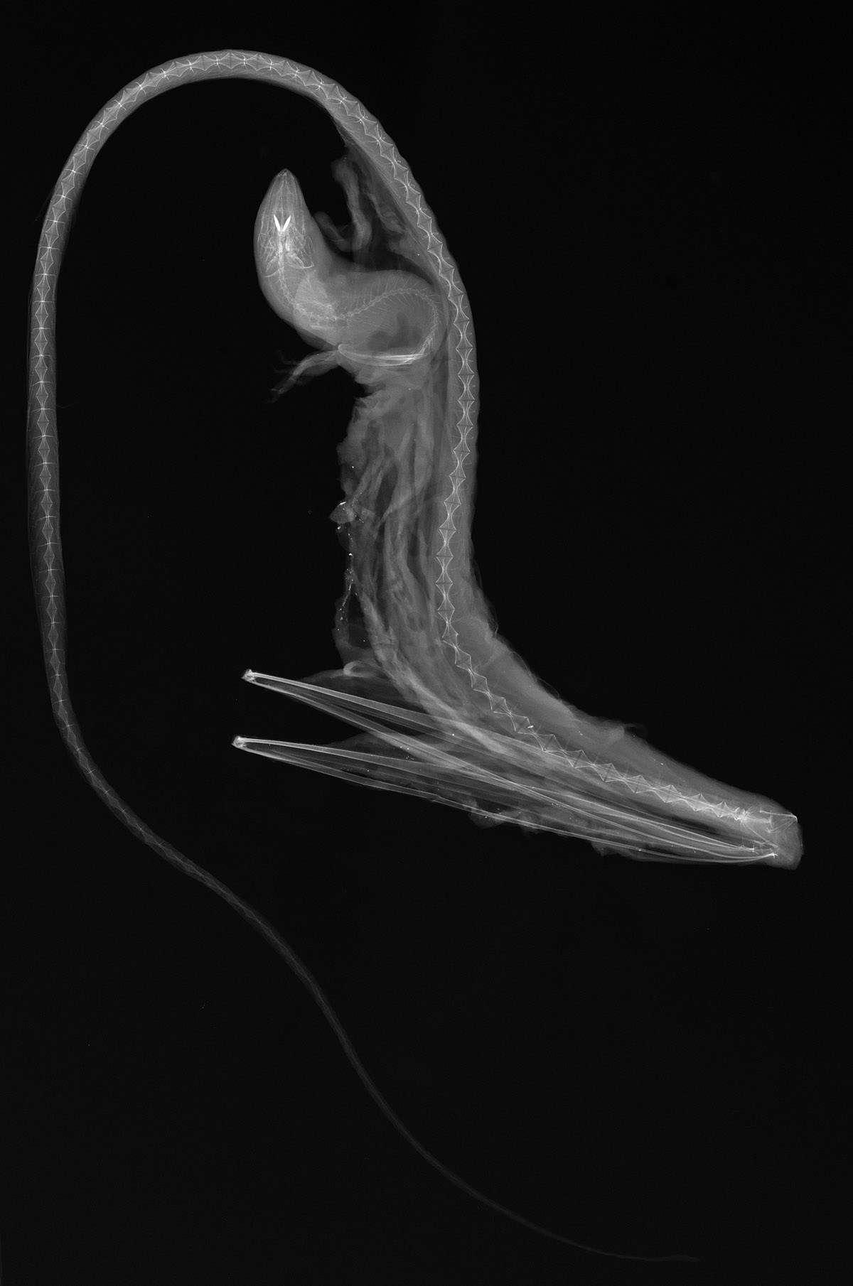 Eurypharynx pelecanoides (Pelican Eel).