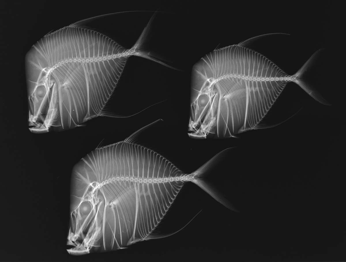 X-ray photograph of Lookdown, or Selene vomer