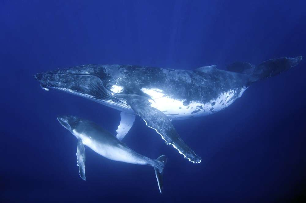 A humpback whale with her calf. The calf will start its life with an accumulation of toxins inherited from its mothers, passed up the food chain. Image: SHUTTERSTOCK