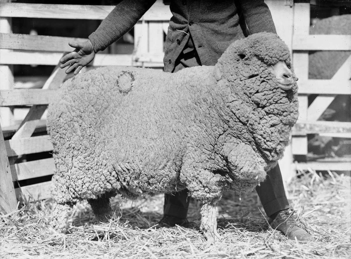 Judging at the 1935 Sydney Royal Easter Show