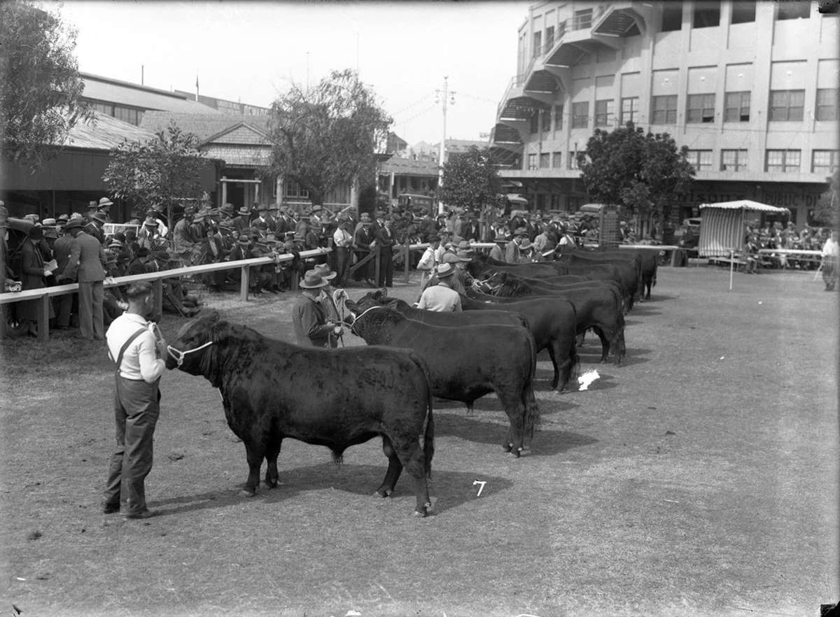 The judging of the Aberdeen Argus bulls competition, circa 1935. ANMM Collection 00012720.