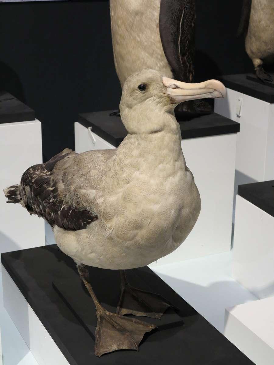 Albatross. Image: Kate Pentecost /ANMM.