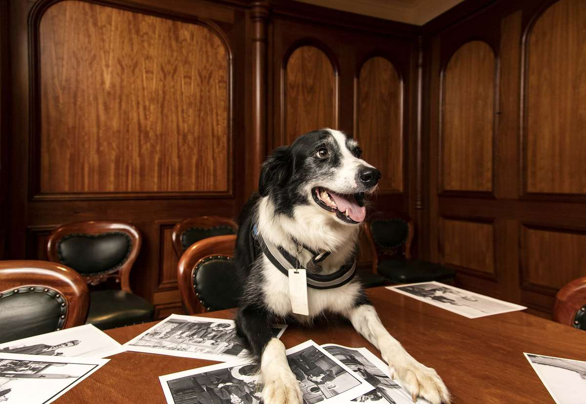 Bailey, getting his paws into curating. Image: Andrew Frolows / ANMM.