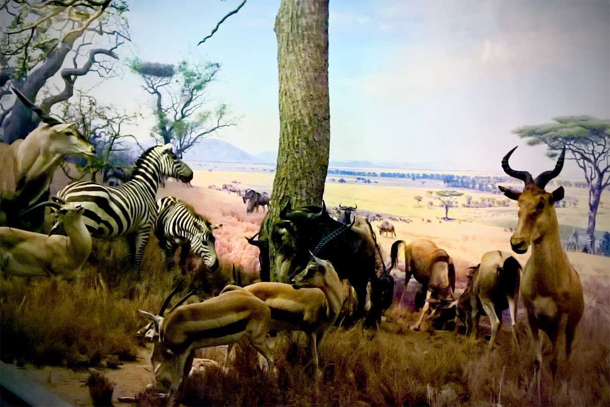 The famous animal dioramas from the 1930s. Image: Richard Wood / ANMM.