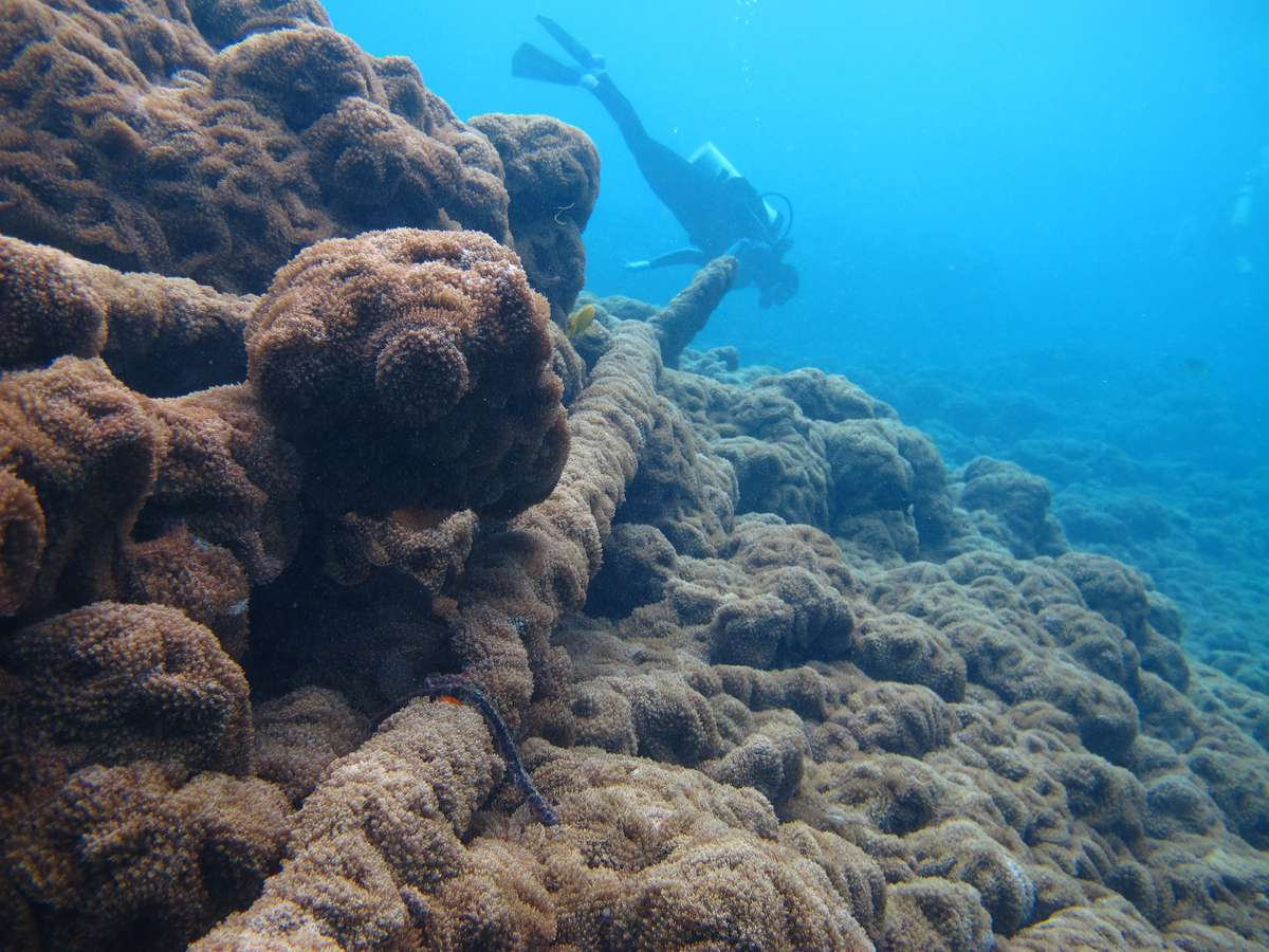 Invasive corallimorphs have colonised a modern shipwreck at Palmyra Atoll in the Line Islands. The corallimorphs have benefitted from a phase shift in the reef's ecosystem brought on by the shipwreck's iron components leaching into the water column. Image: Susan White/US Fish and Wildlife Service.