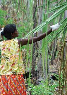 Mavis harvesting prickly pandanus leaves. The leaves must then be split before they are dyed and woven. Image: Koskela.