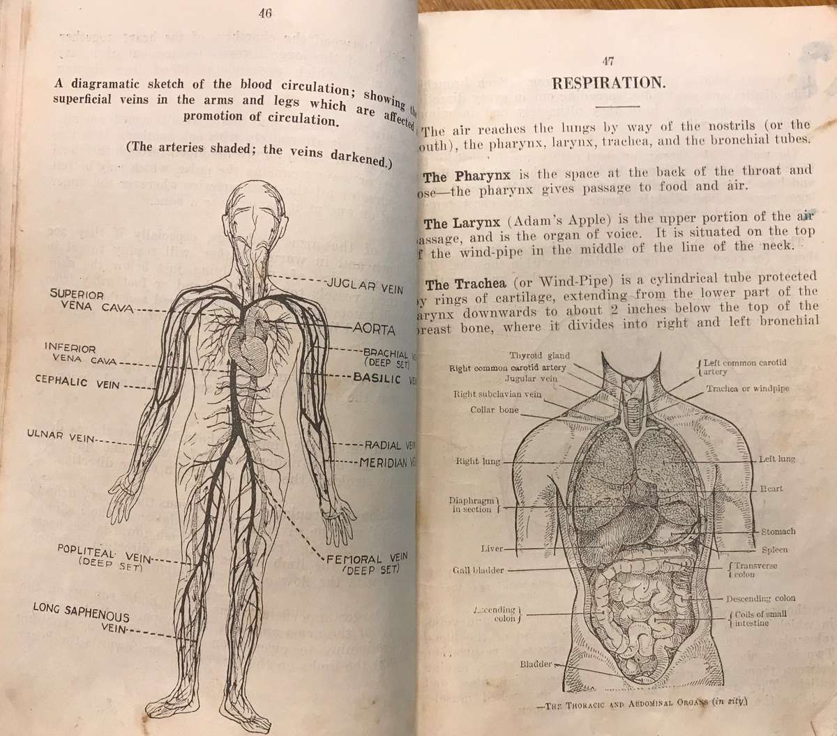 Basic anatomy in the form of blood circulation and an introduction to the respiration system. Vaughn Evans Library Collection.