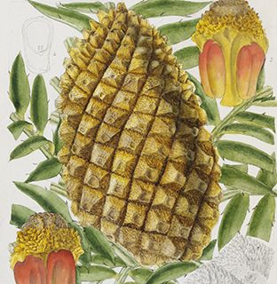 Illustration-of-Encephalartos-altensteinii-cone-from-1891
