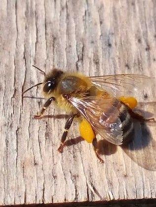 bees pollen basket