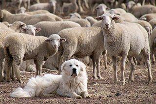 Maremma guarding the sheep