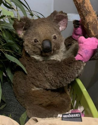 A good news story about Koalas