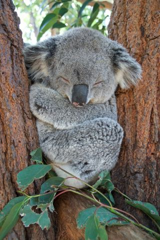 "The ""Bare"" Facts About Koalas"