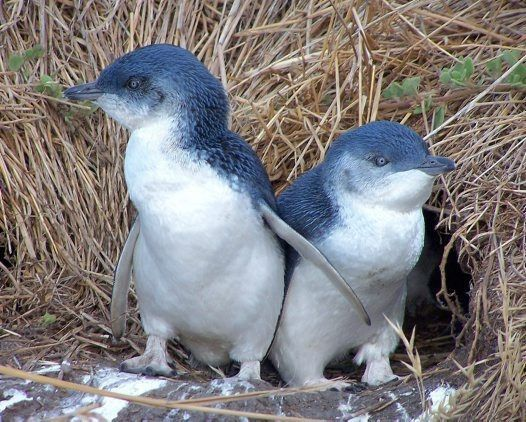 'Little Penguins' – The hottest gig in town!