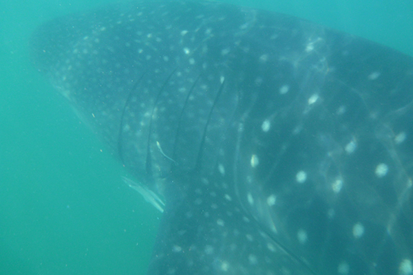 Swimming with Whale Sharks in Donsol, Philippines – The Most