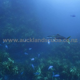 Great Barrier Island Dive Trip