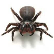 mouse_spider_male