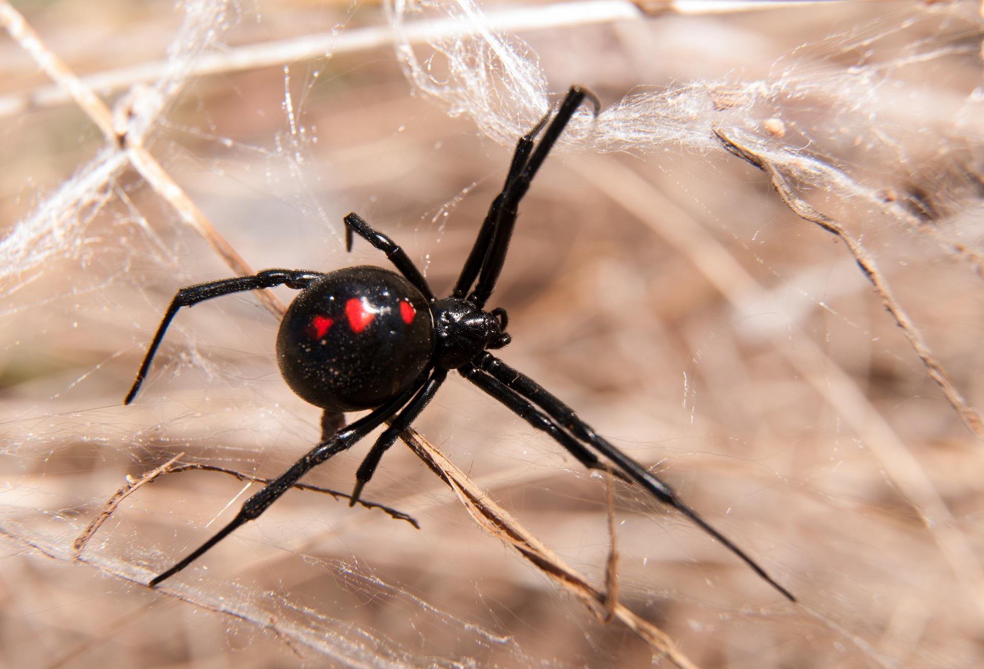 Spider Threat in Australia_