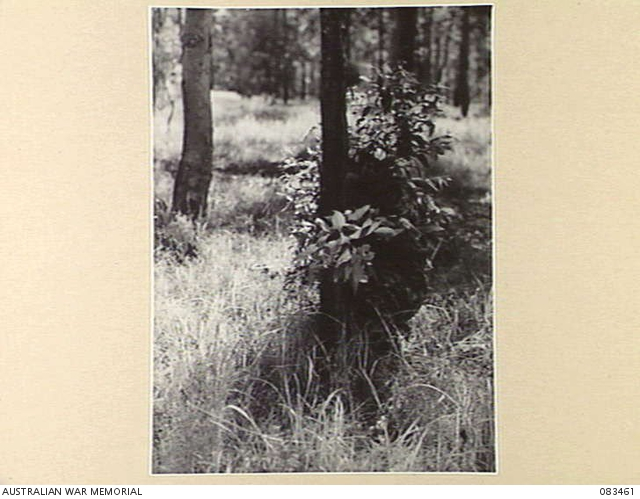 A student crouched behind a tree during a concealment course conducted at Headquarters 1 Corps at Wongabel, Qld, in November 1944.