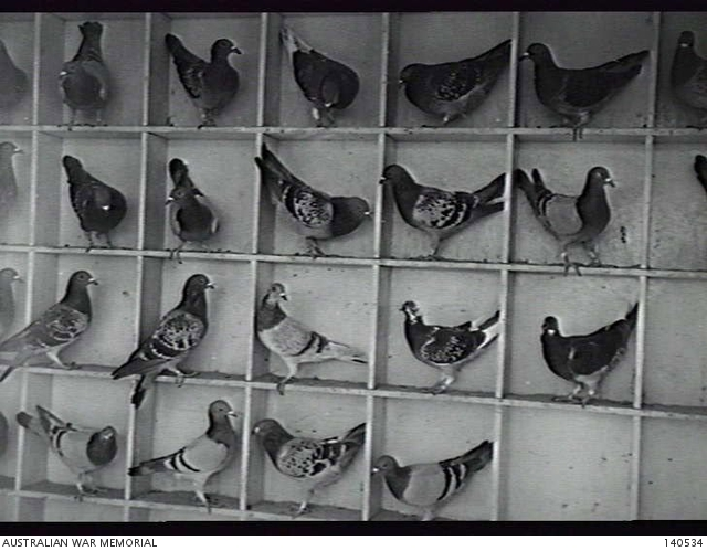 SALE, VIC  1944-03-08  HOMING PIGEONS IN THEIR ROOSTS IN A