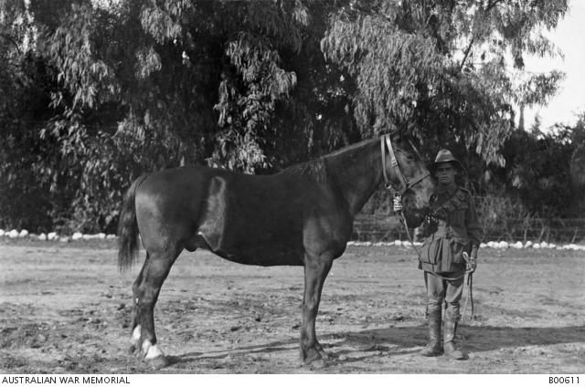 A typical Waler of the ANZAC Mounted Division