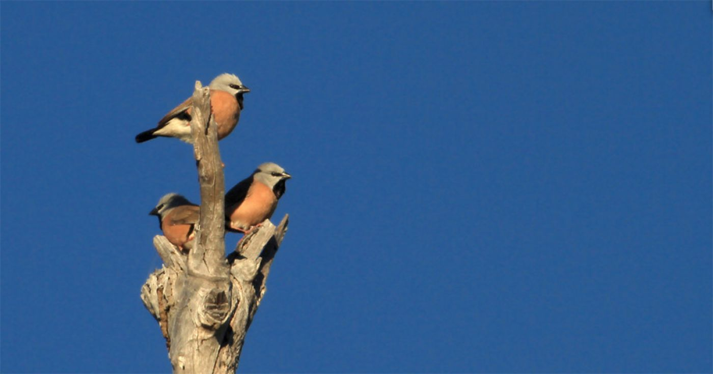Black-throated Finch Management Plan