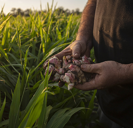 Ginger in the hands of a farmer