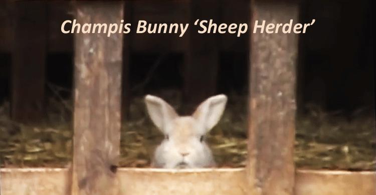 Champis the Herding Rabbit image