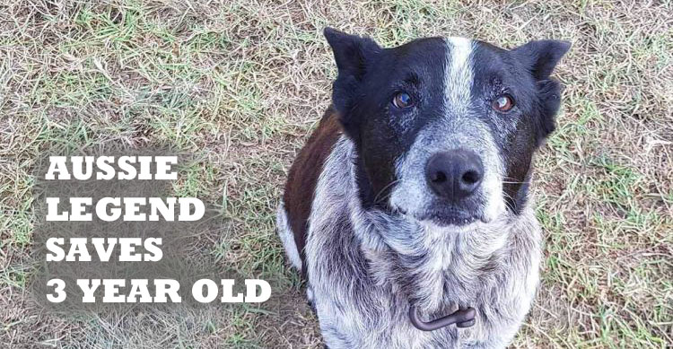 Max the Aussie Cattle Dog saves three year old girl image