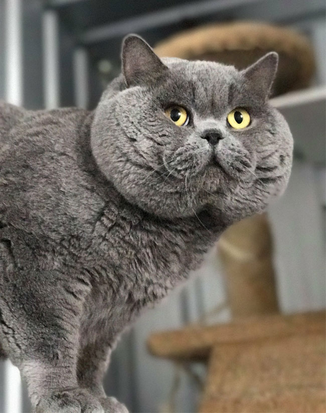 Oaks Ambition British Shorthair gallery image