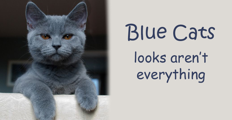 British Shorthair, Russian, Burmese or Korat - Which Blue Cat is that? image