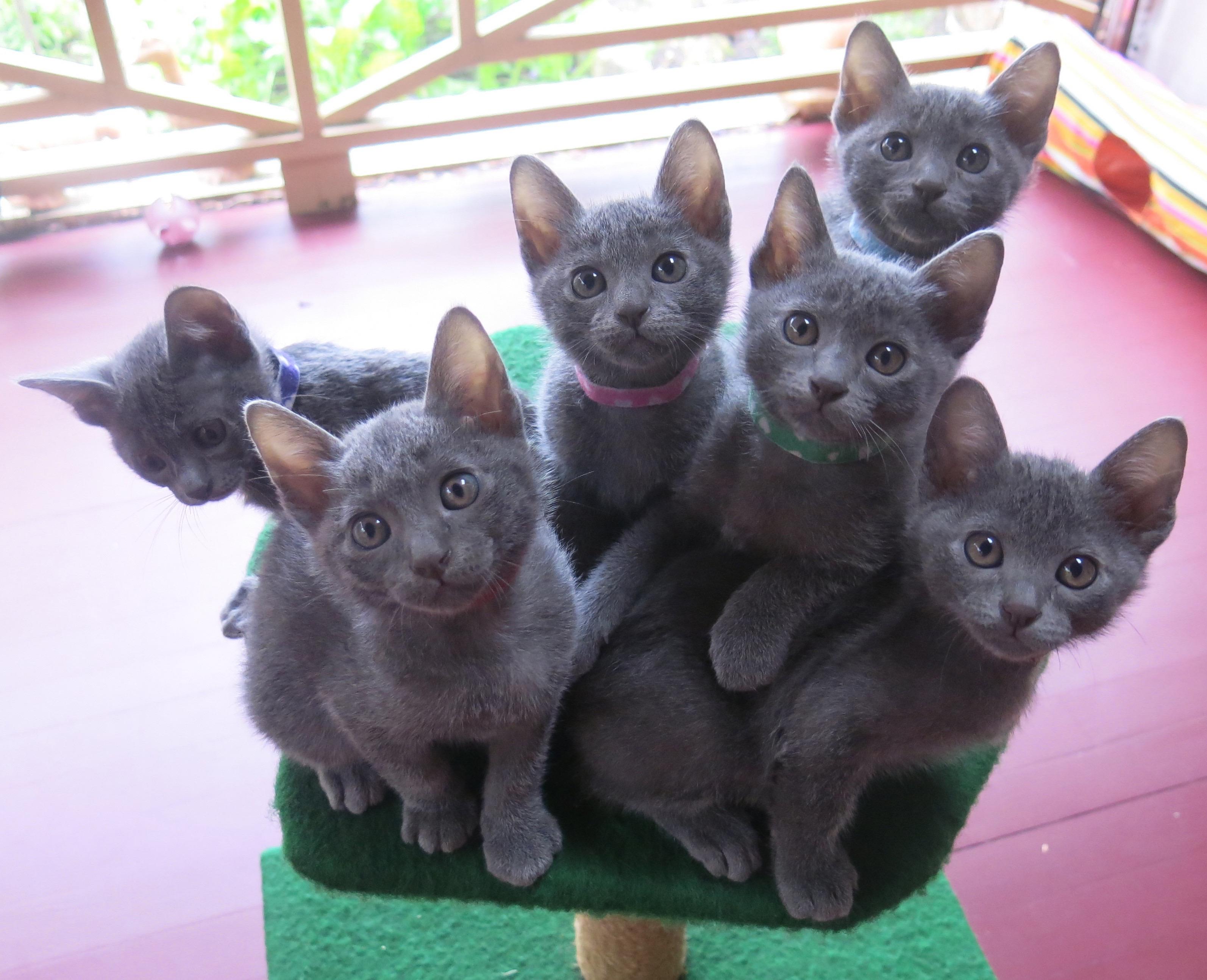 Korat Kittens - Doklao Korats gallery image