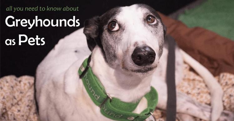 Greyhounds as pets  image
