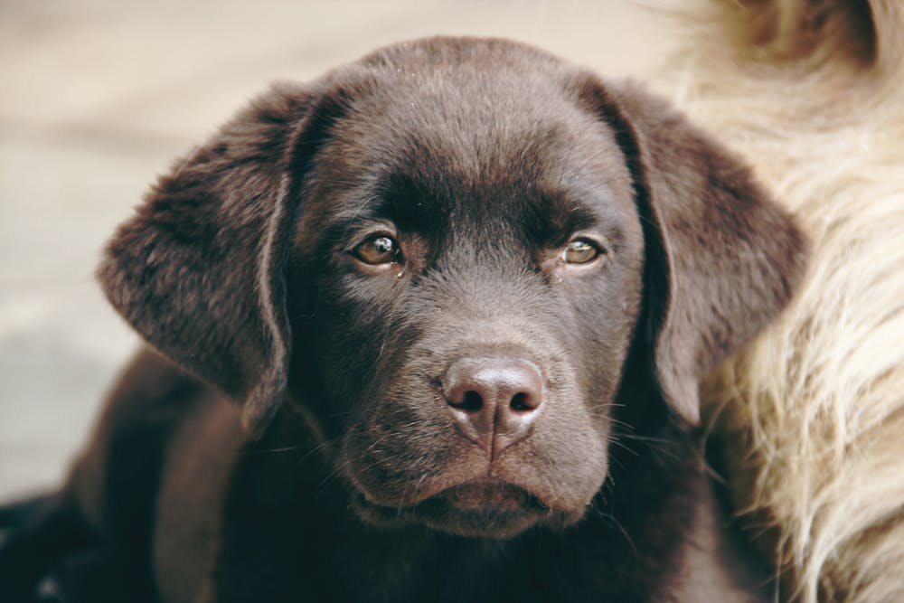 Chocolate lab puppy gallery image