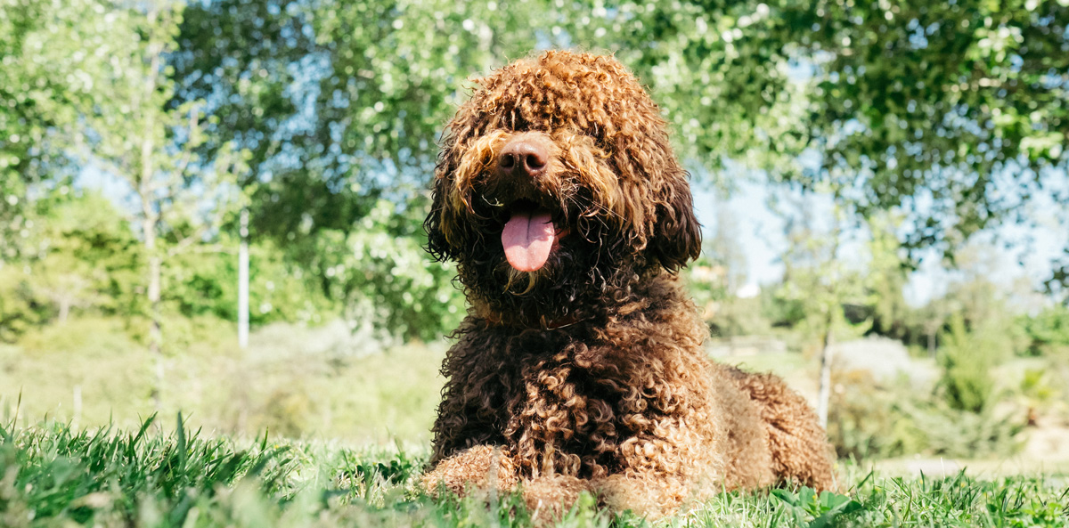 Spanish Water Dog gallery image